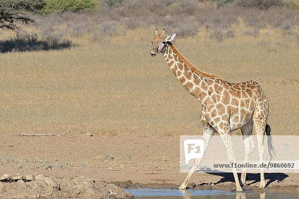 Giraffe (Giraffa camelopardalis)  steht an einem Wasserloch  Kgalagadi-Transfrontier-Nationalpark  Provinz Nordkap  Südafrika