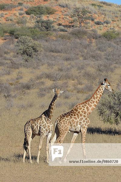 Giraffen (Giraffa camelopardalis)  Weibchen steht und Männchen geht im trockenen Gras  Kgalagadi-Transfrontier-Nationalpark  Provinz Nordkap  Südafrika