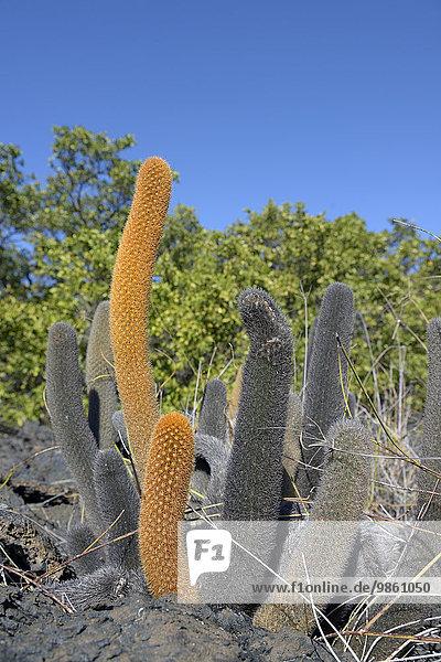 Lava-Kaktus (Brachycereus nesioticus)  Punta Moreno  Insel Isabela  Galapagos-Inseln  Ecuador  Südamerika