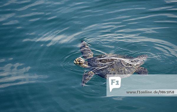 Schwarze Suppenschildkröte (Chelonia agassizii  Chelonia mydas agassizii)  Insel Isabela  Galapagos-Inseln  Ecuador  Südamerika