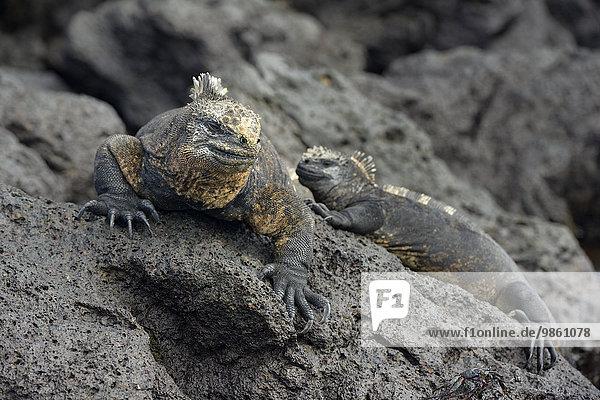 Meerechsen (Amblyrhynchus cristatus)  Urbina Bay  Insel Isabela  Galapagos-Inseln  Ecuador  Südamerika
