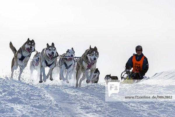 Schlittenhunderennen  Schlittenhunde-Gespann in winterlicher Landschaft  Unterjoch  Oberallgäu  Bayern  Deutschland  Europa