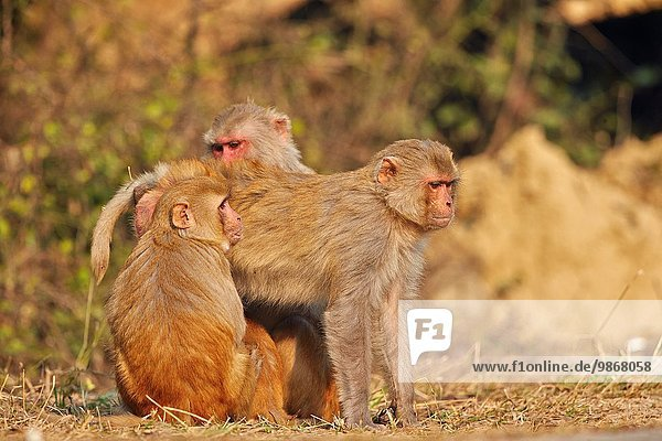Hygiene Asien Indien Makak Rajasthan