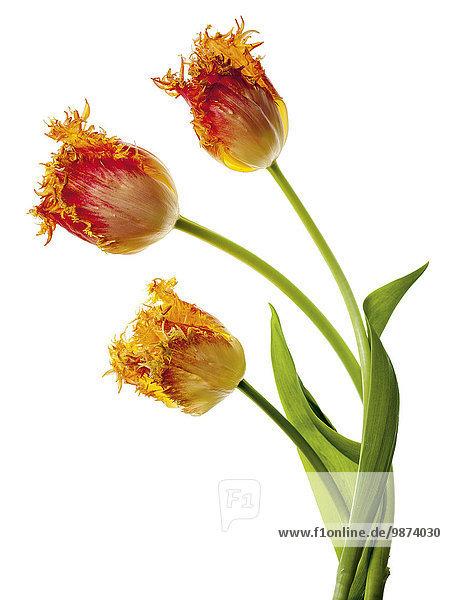 Tulpen (Tulipa Crispa-Cultivar)