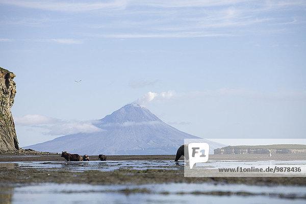 Bär Fisch Pisces Sommer Hintergrund Jagd Berg Alaska braun Halbinsel