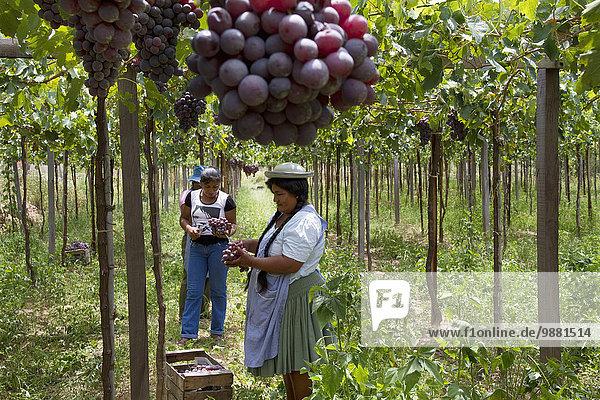 ernten Weintraube Bolivien Weinberg