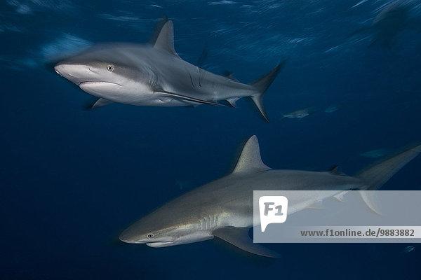Zwei Graue Riffhaie (Carcharhinus amblyrhynchos) patrouillieren die Riffe nördlich der Bahamas.