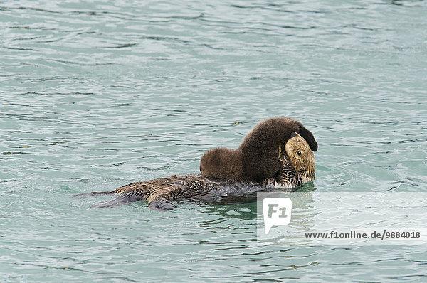 Otter Lutrinae Amerika Überprüfung Meer Verbindung Cordova Alaska Mutter - Mensch Baby