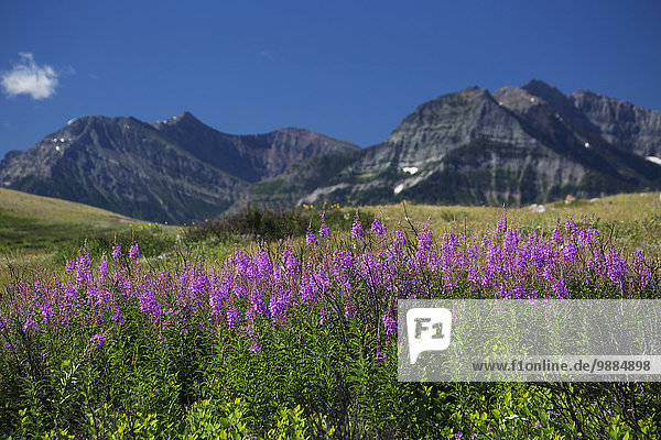 Flowering fireweed (Chamerion angustifolium) on a hillside field and mountain range in the background with blue sky; Waterton  Alberta  Canada