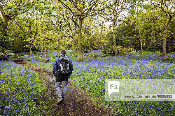 Mann wandert durch Blauglockenwälder  Pateley Bridge  Nidderdale  Yorkshire Dales