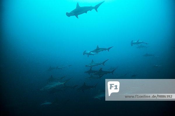 Ausbildung Hammerhaie (Sphyrna lewini) bei el canon  San Benedicto  Revillagigedo  Mexiko
