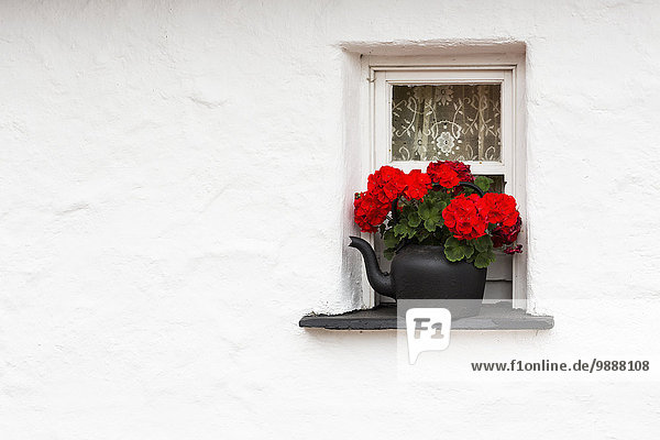 Fenster Wand Fenstersims Blume waschen klein weiß schwarz Close-up rot Clare County Irland Wasserkocher