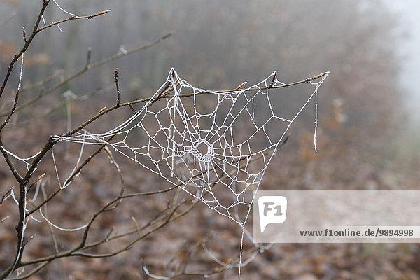 Deutschland  Hessen  Taunus  frostbedecktes Spinnennetz