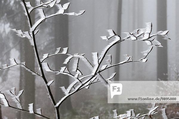 Deutschland  Hessen  Taunus  frostbedeckter Ast