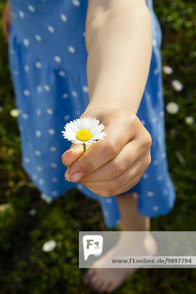 Kleine Mädchenhand präsentiert Gänseblümchen