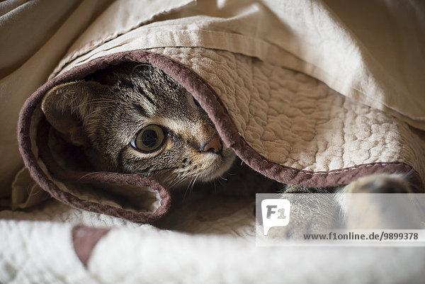 Tabby-Katze versteckt unter einer Decke Tabby-Katze versteckt unter einer Decke