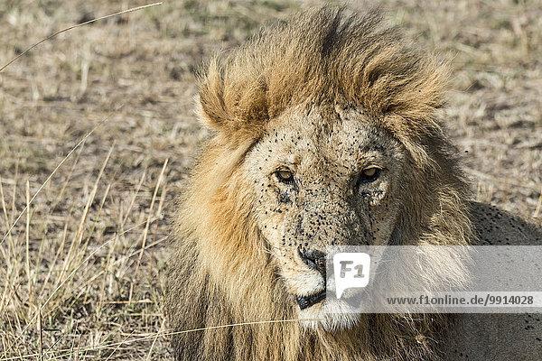Löwe (Panthera leo)  männlich  mit vielen Fliegen  Fliegenplage  Masai Mara  Kenia  Afrika