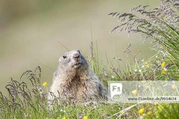 Alpenmurmeltier (Marmota marmota)  Tirol  Österreich  Europa Alpenmurmeltier (Marmota marmota), Tirol, Österreich, Europa
