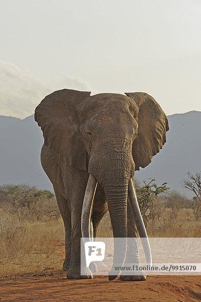 Afrikanischer Elefant (Loxodonta africana)  Bulle  Tsavo-East-Nationalpark  Kenia  Afrika