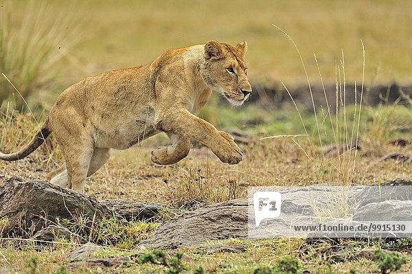 Lioness (Panthera leo)  Masai Mara National Reserve  Kenya  Africa