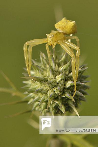 Gehöckerte Krabbenspinne (Thomisus onustus)  Gelbes Weibchen thront auf Distelknospe  Lykien  Türkei  Asien