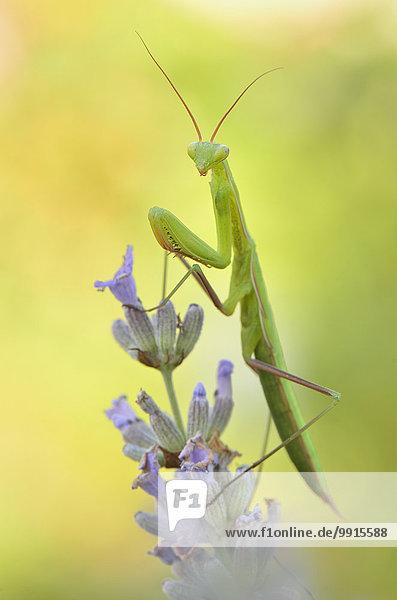 Weibliche Europäische Gottesanbeterin (Mantis religiosa) auf Lavendel (Lavendula officinalis)  Garfagnana  Toskana  Italien  Europa