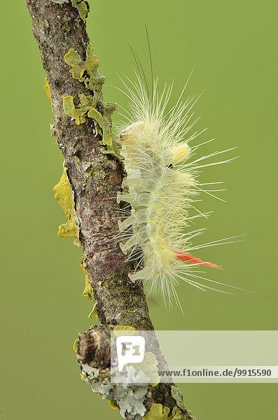 Halberwachsene Raupe des Buchen-Streckfuß oder auch Buchenrotschwanz (Calliteara pudibunda) auf Zweig  Toskana  Italien  Europa