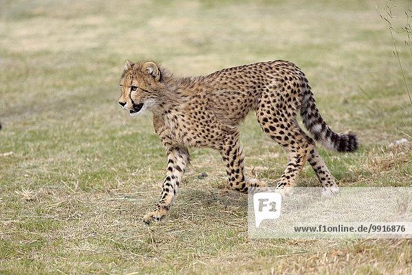 Gepard (Acinonyx jubatus)  sudadult  laufend  Westkap  Südafrika