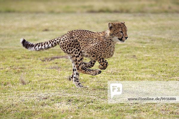 Gepard (Acinonyx jubatus)  sudadult  rennend  Westkap  Südafrika