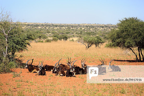 Rappenantilope  (Hippotragus niger)  adult  Herde  ruhend  Tswalu Game Reserve  Kalahari  Nordkap  Südafrika