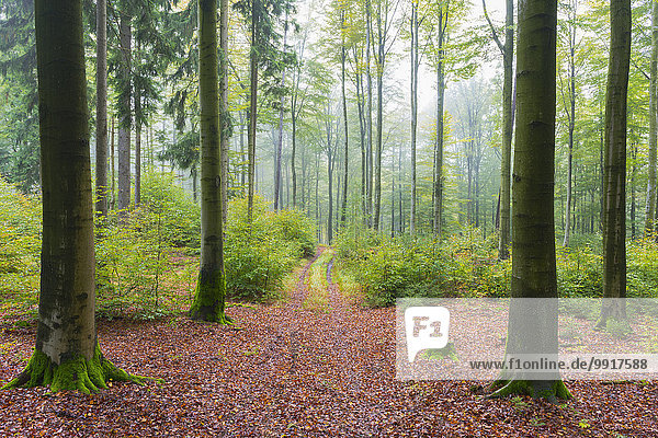 Wald Herbst Buche Buchen Bayern Deutschland Naturpark