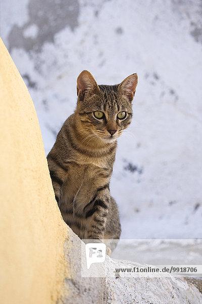 Portrait Katze Santorin Griechenland Oia Ia Hauskatze