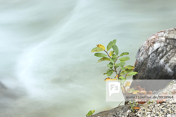 Weidenbaum salix Weide nebeneinander neben Seite an Seite Wasser fließen Close-up Herbst Schlucht Deutschland Strauch Oberbayern Weidenbaum,salix,Weide,nebeneinander,neben,Seite an Seite,Wasser,fließen,Close-up,Herbst,Schlucht,Deutschland,Strauch,Oberbayern