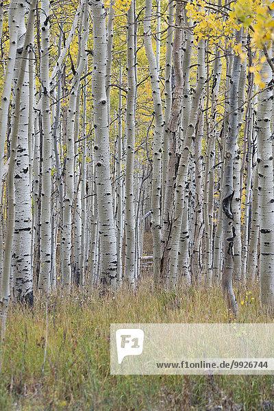 Espe Populus tremula Laubwald Farbe Farben folgen Herbst lebhaft Laub Ahorn