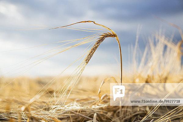 Barley crops in field