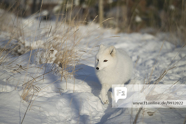 Winter Tier Polarfuchs Alopex lagopus Kanada Fuchs Schnee