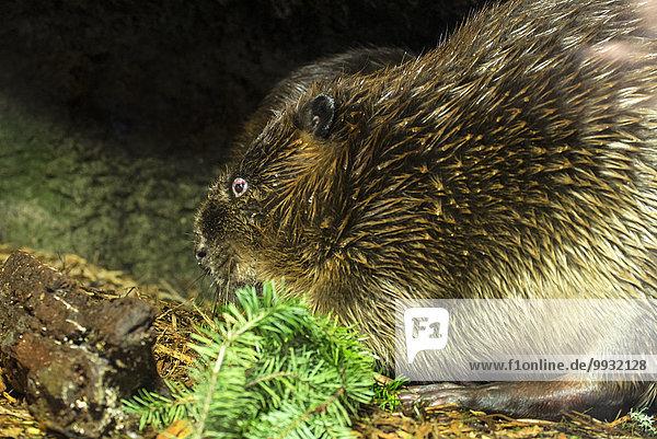 beaver  castor canadensis  animal  USA  United States  America