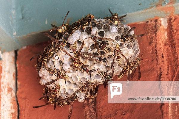 amerika deutsche wespe insekt texas vereinigte staaten von amerika vespula germanica prisma. Black Bedroom Furniture Sets. Home Design Ideas