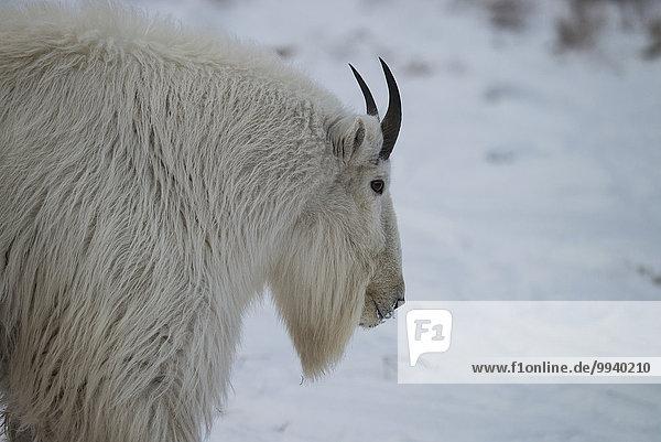 Gams Oreamnos americanus Winter Tier weiß Kanada Schnee Yukon