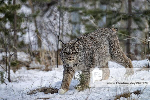 Winter Tier Kanada Luchs lynx lynx Yukon