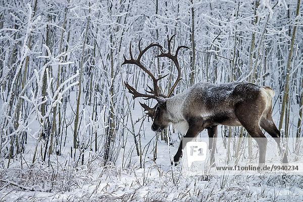 Rentier Rentiere Rangifer tarandus Winter Tier Karibu Kanada Wildtier Yukon