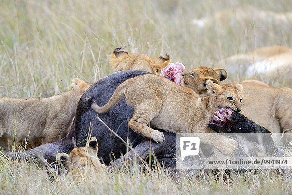 Löwen  (Panthera leo)  Löwenfamilie frisst am Gnu Kadaver  am Riss  Masai Mara Nationalreservat  Kenia  Afrika