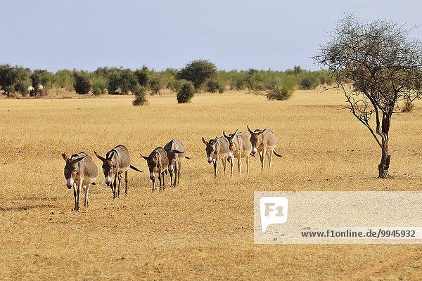 Eselherde zieht durch die Steppe  bei Aleg  Region Brakna  Mauretanien  Afrika