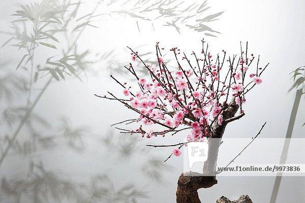 Blüte Pflaume