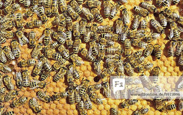 Europäische Honigbienen (Apis mellifera var. carnica) auf Wabe mit gedeckelten Brutzellen  Bayern  Deutschland  Europa Europäische Honigbienen (Apis mellifera var. carnica) auf Wabe mit gedeckelten Brutzellen, Bayern, Deutschland, Europa
