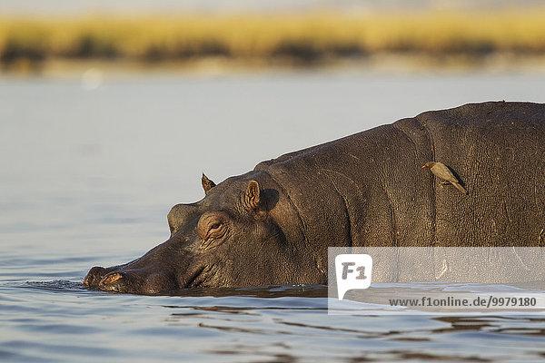 Flusspferd (Hippopotamus amphibius)  Männchen im Chobe Fluss  auf dem Rücken ein Rotschnabel-Madenhacker (Buphagus erythrorhynchus)  Chobe-Nationalpark  Botswana  Afrika