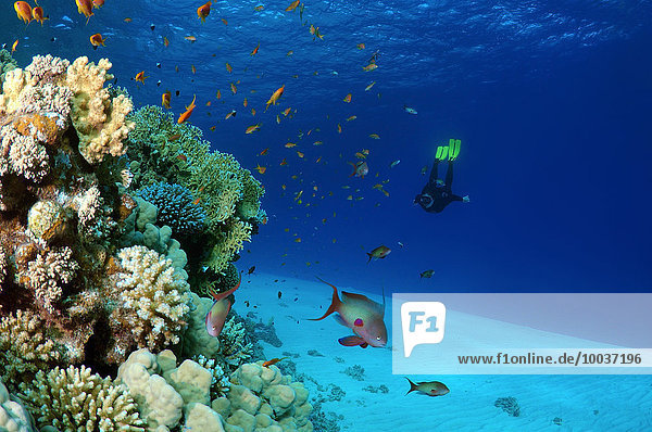 Freediver diving at coral reef,  Red Sea,  Egypt,  Africa