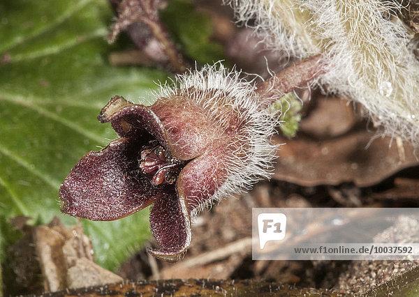 Haselwurz (Asarum europaeum)  Blüte  Baden-Württemberg  Deutschland  Europa