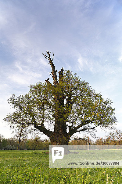 Oak tree  650 years old  in spring  Middle Elbe Biosphere Reserve  Saxony-Anhalt  Germany  Europe