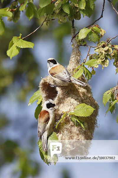 Eurasian Penduline Tit (Remiz pendulinus)  pair building a nest  Middle Elbe Biosphere Reserve  Saxony-Anhalt  Germany  Europe